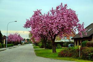 A calm neighborhood with cherry trees