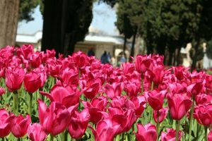One of the most beautiful features in Topkapi Sarayi are tulips.