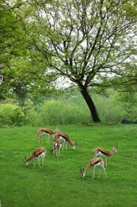 Antelopes in Pittsburgh ZOO